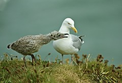 HERRING GULL & CHICK