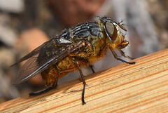 Western Goldenhaired Blowfly