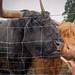 Hairy cows (Highlands, Scotland)