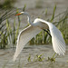 Grande aigrette \ Great Egret