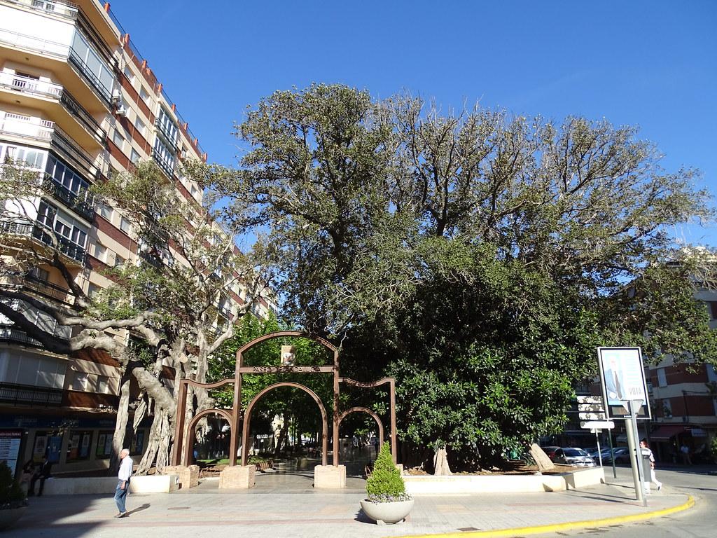 Ficus del Paseo centenario y entrada al Paseo de Andalucia Velez Malaga Málaga