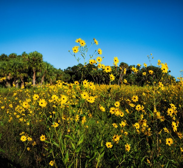 One more Swamp Sunflower image