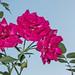 Les dernières roses de l'année