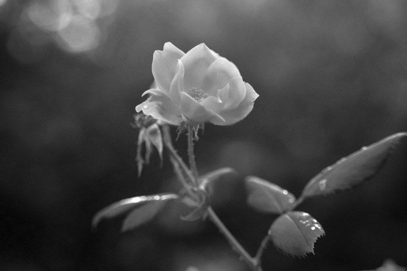 autumn rose, wet leaves, Asheville, NC, Nikon N3300, Super-Takumar 50mm f-1.4, 10.8.19