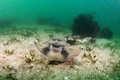 Trygonorrhina fasciata - Fiddler ray hunts in the murky water #marineexplorer #underwatersydney