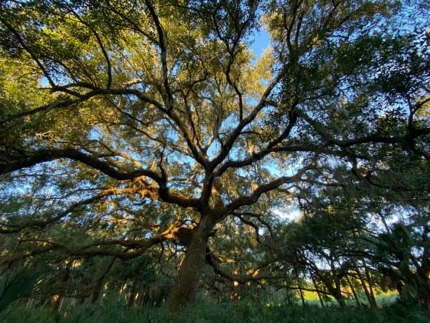 Morning Light on a Majestic Oak