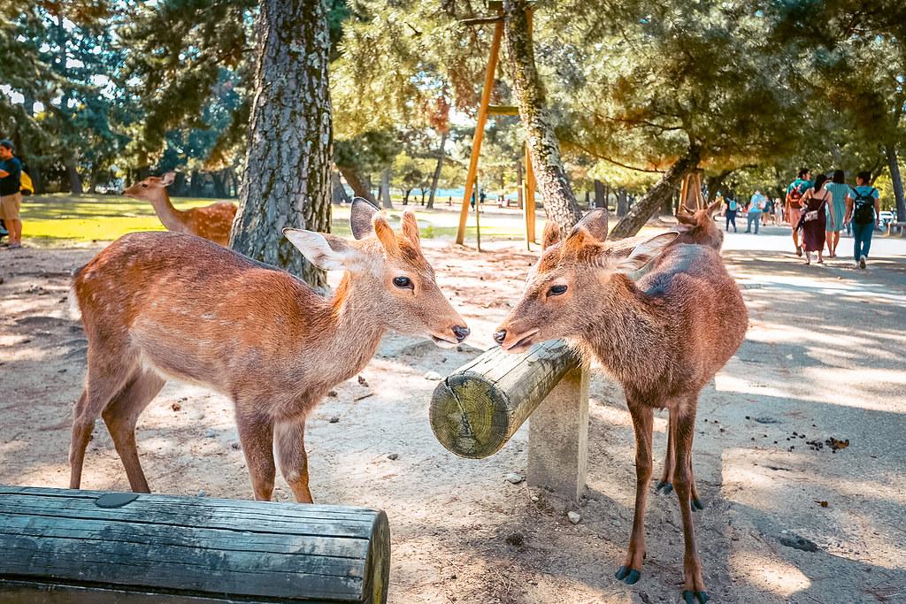 Nara Deer Park | Kyoto Osaka Itinerary