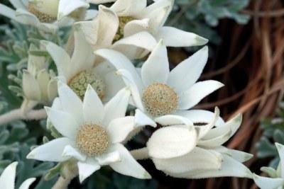Flannel flowers Actinotus helianthi #marineexplorer