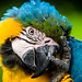 Ara bleu et jaune / Blue-and-yellow macaw