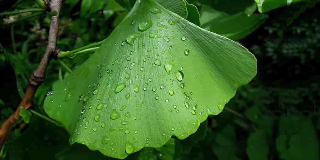 créer-un-composé-venant-du-ginkgo-pour-un-insectice-vert