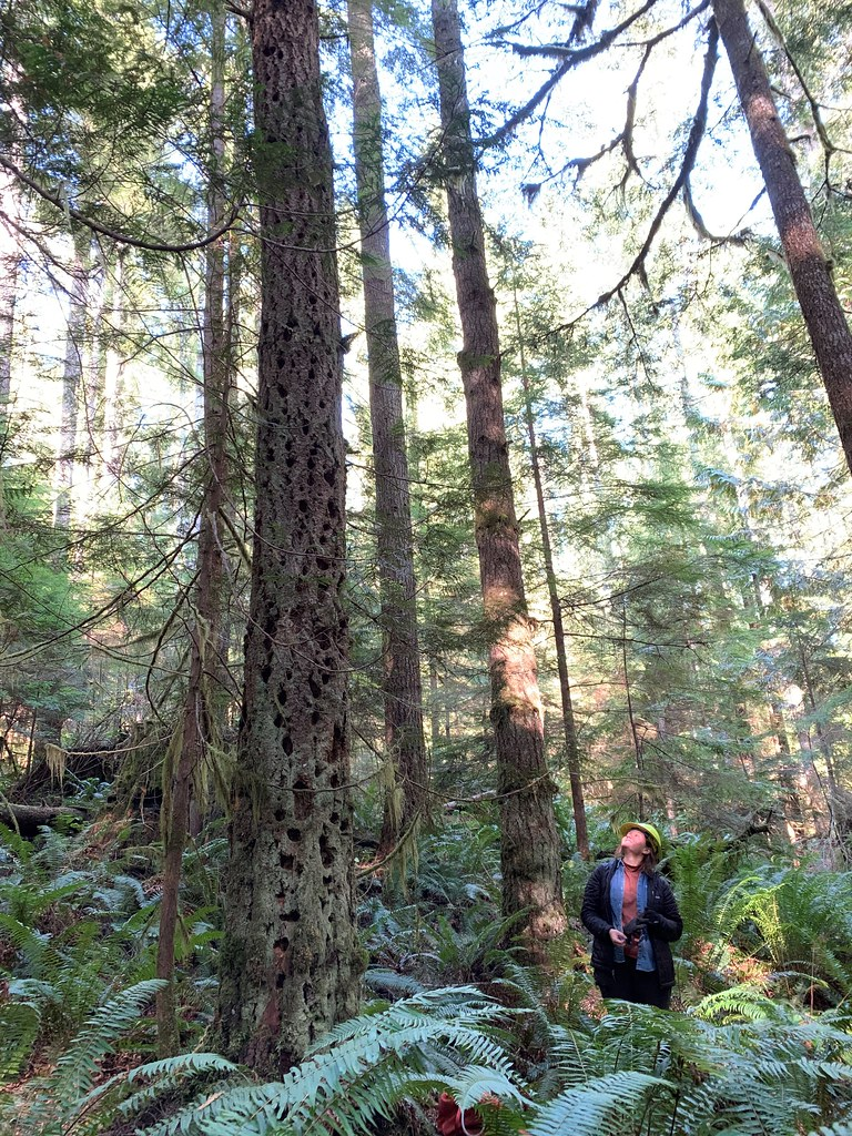 201910_Olympic_ A forest biologist observes a snag in a second growth forest. USDA photo by Karen Holtrop.