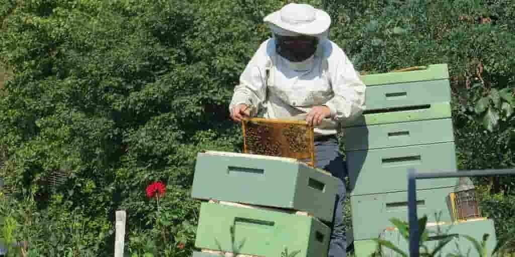 les-abeilles-élevages-accouplement-abeilles-sauvages-peut-les-mettre-en-danger
