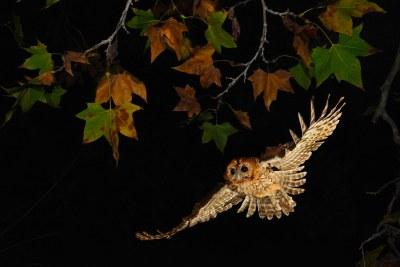 Cárabo común. Gamarús. Tawny Owl. Strix aluco.