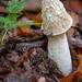Common stinkhorn (Phallus impudicus) - Teutoburg Forest (Bielefeld, Germany)