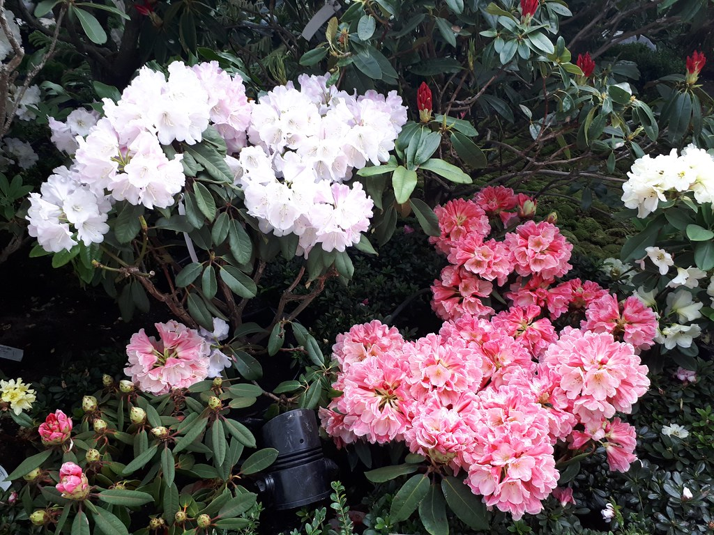 City Girl City Stories: Rhododendron Radiance