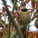 Colors of the Northern Flicker