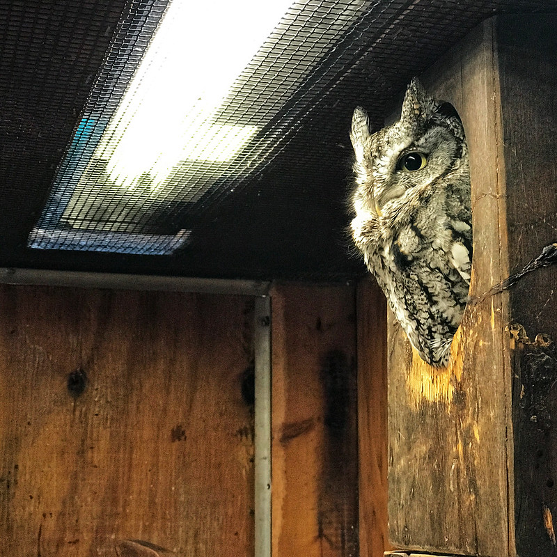 Screech owl at River Trail Nature Center