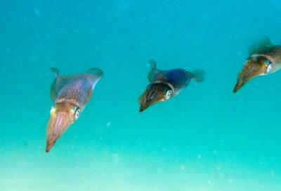 Calamari before the plate #marineexplorer #underwatersydney