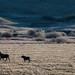 1910_1577 Moose on the Prairie