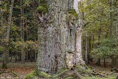 Ivenacker Pferdekopfeiche / horsehead-oak