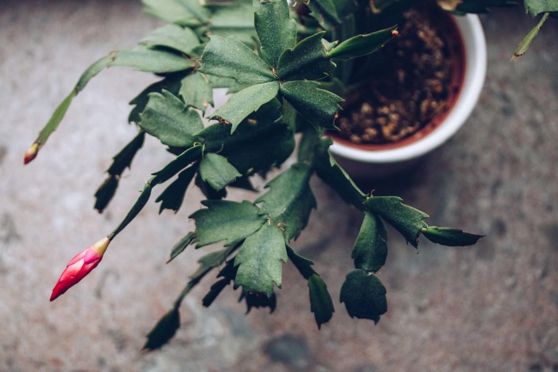 Julkaktus blomma - reaktionista.se