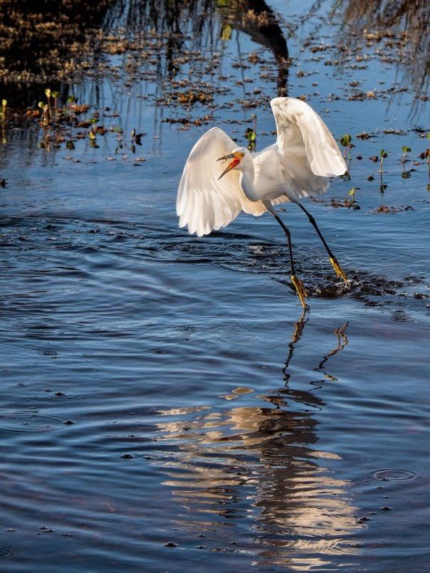 Snowy Egret and minnow