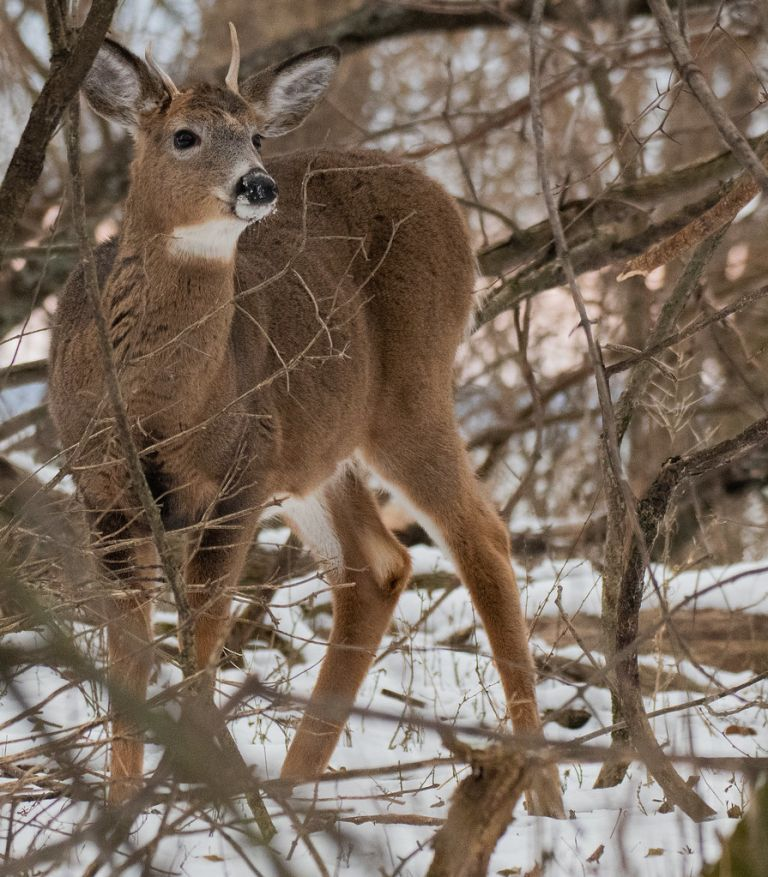 Young Male White-tail Deer