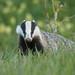 Dachs - European Badger - Mäger - Meles meles