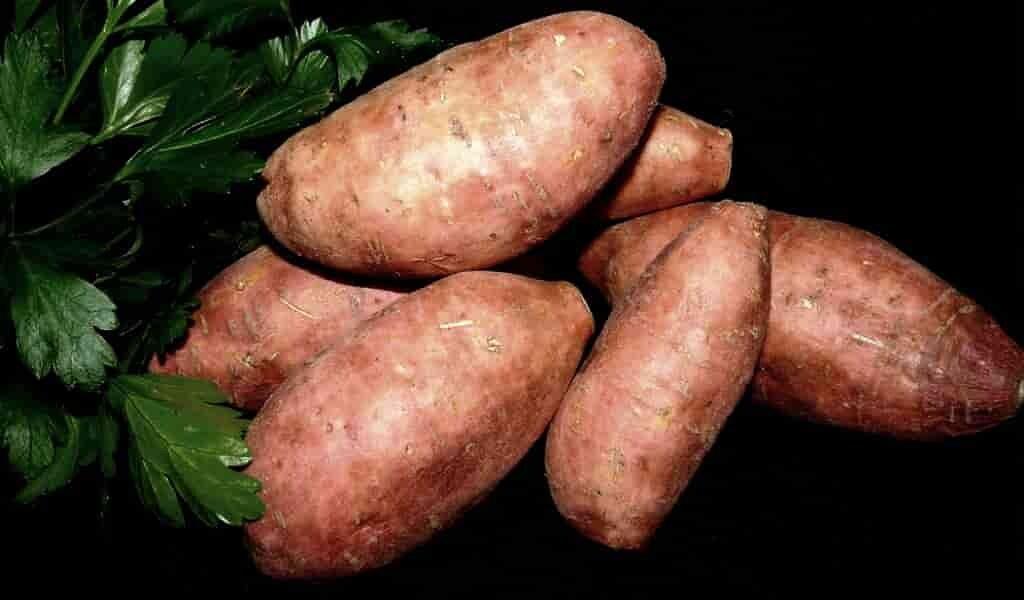 la-patate-douce-peut-avertir-ses-voisins-des-attaques-des-insectes