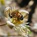 Bee and bokeh