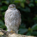 Sparrowhawk-151