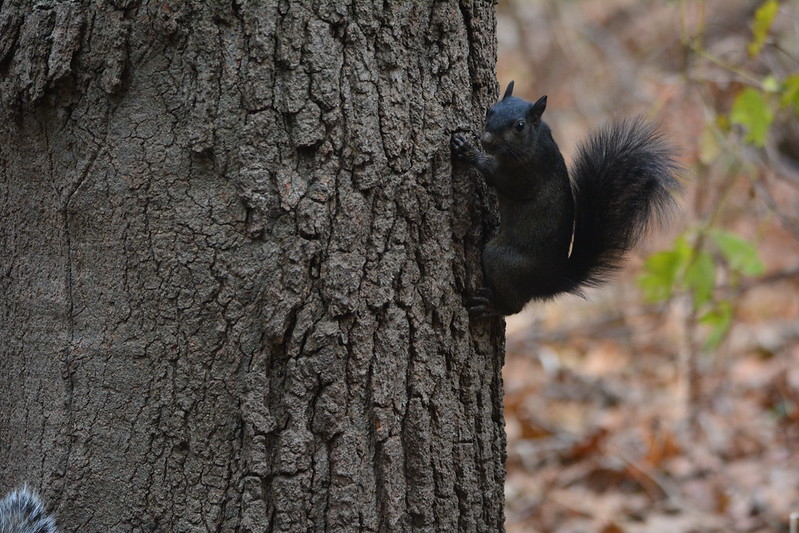 Melanistic gray squirrel at Indiana Dunes State Park