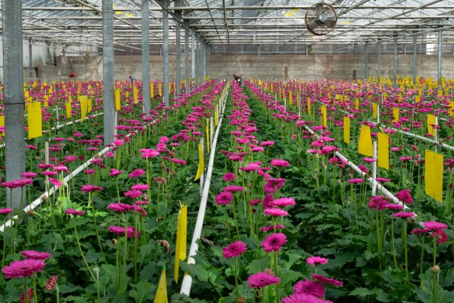 rows and rows of pink gerbera daisies