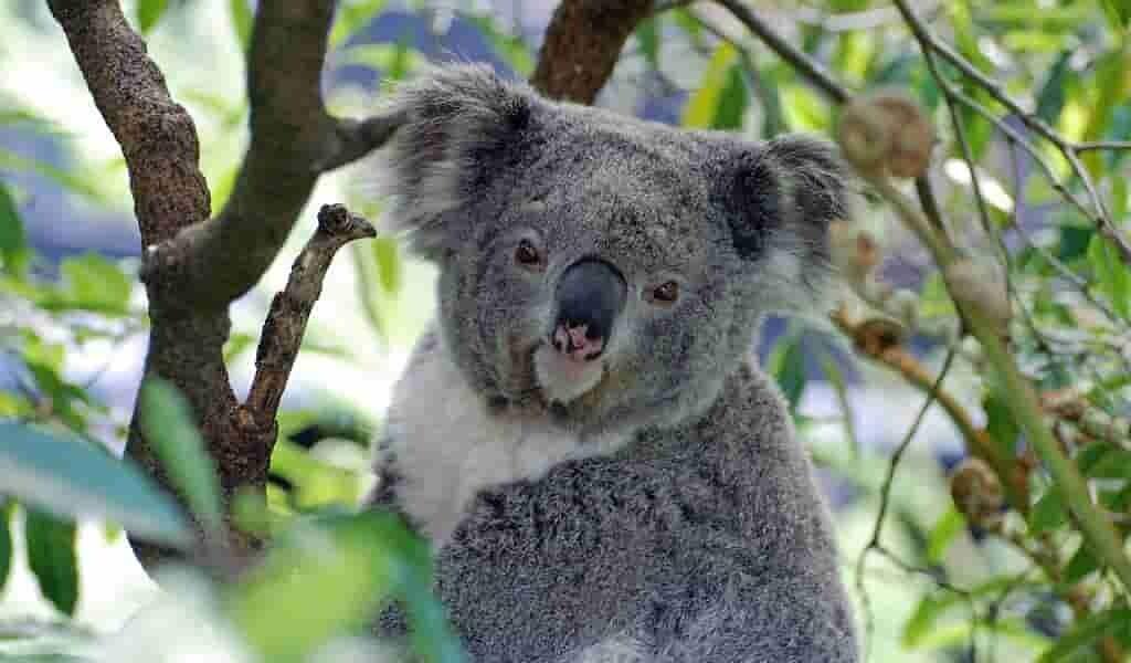 koalas-et-singes-ont-développé-une-façon-similaire-de-marcher-dans-les-arbres