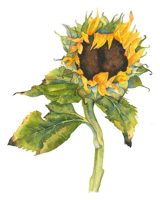 sunflower raw scan