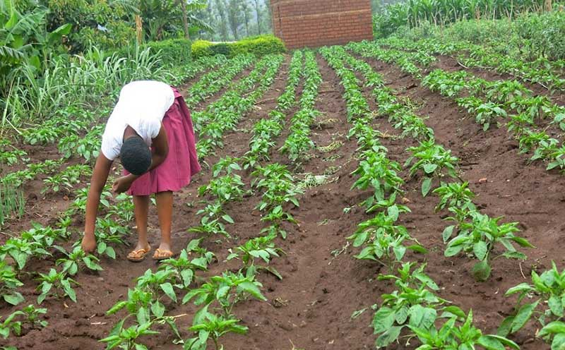 Anna weeding sweet-pepper. Photo credit: Inviolate Dominick/WorldVeg.