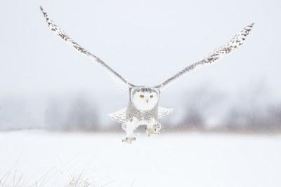 Snowy owl taking off from snowy field