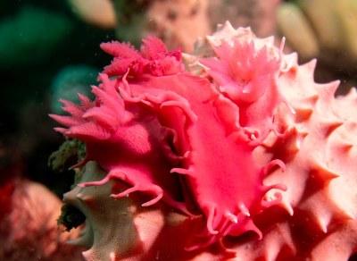 Verconia versonis nudibranch on Aplysilla rosea sponge #marineexplorer #underwatersydney
