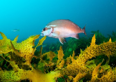 Morwong in the kelp C fuscus #marineexplorer #underwatersydney