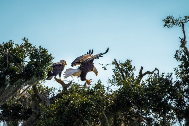 Eagle pair and nest