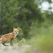 Red Fox - Rotfuchs