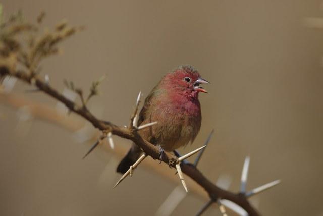 Red-billed firefinch, Lagonosticta senegala, male, at Pilanesberg National Park, Northwest Province, South Africa.