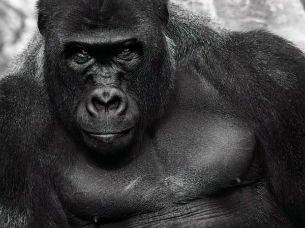 Ape With Attitude
