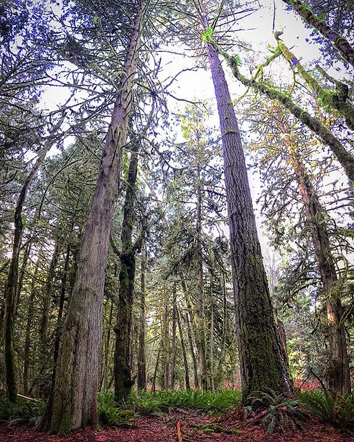 Don't forget to look up and say hello. #douglasfir #explorebc #sunshinecoast @sunshinecoastbc #happybirthdaymiss604