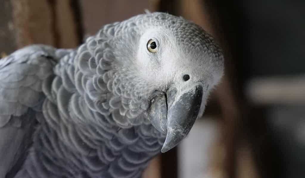 le-perroquet-gris-aide-un-amis-dans-le-besoin