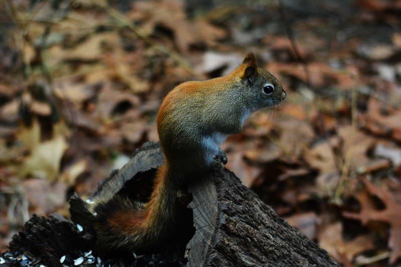 Red or pine squirrel