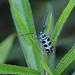 0M2A0535 斯文豪氏天牛 Paraglenea swinhoei