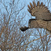 Great Gray Owl...#12.. the take off...