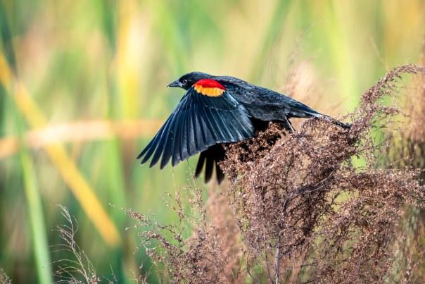 Redwing Blackbird launch