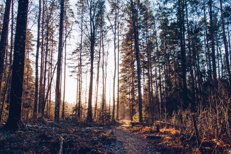 Skogens guldljus - reaktionista.se